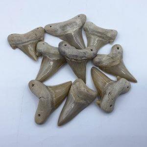 prehistoric shark teeth from Morocco